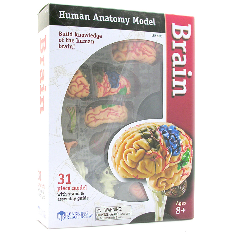 Learn brain anatomy